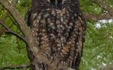 При искусственном освещении глаза стигийскойушастой совы светятся ярко-красным светом, что вкупе с тёмным оперением, ночным образом жизни и перьевыми «рожками», является причиной мрачной репутации этой птицы, котораячасто ассоциируется у людей с дьяволом