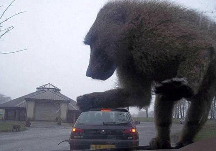 Гигантский бабуин нападает наавтомобиль. Или нет.  ©Skweebinstein / Reddit
