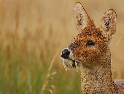 Водяной олень (Hydropotes inermis)— вид безрогих оленей.Обитает в травянистых зарослях по берегам рек и озёр и по болотамк северу от долиныЯнцзыв ВосточномКитае(подвидHydropotes inermis inermis), и вКорее(подвидHydropotes inermis argyropus).