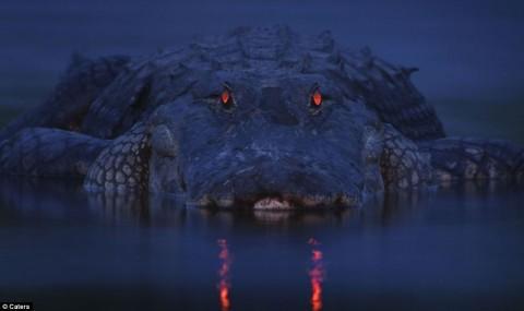 """Глаза у крокодилов оснащены интересным биологическим приспособлением: большинство лучей света, приникающих в глаз, улавливаются сетчаткой - слоем светочувствительных клеток в задней части глаза. Но слабые световые лучи, проходят сквозь сетчатку и падают на """"зеркальце"""" - слоем светоотражающей ткани. Отразившись от """"зеркальца"""", лучи падают на сетчатку и улавливаются светочувствительными клетками. """"Зеркальце"""" не только помогает крокодилам видеть в темноте, но и заставляет их глаза светится."""