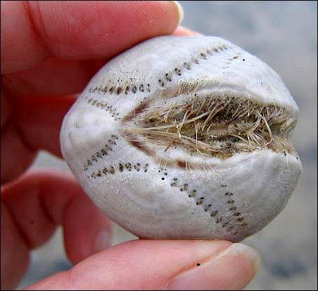 Скелет сердцевидного морского ежа.  Морские ежичасто образуют большие скопленияна наклонных каменных поверхностях, начиная c самого мелководья у берега. Обитают приемущественно всоленой и теплой воде.Живет еж на морских отмелях, зарывшись в песчаный грунт на глубину 2-7 см.  После смерти ежа остается очень хрупкийскелет. При одиночном или массовом выбрасывании на берег таких скелетов их могут принять за нашествие странных существ, яйца инопланетян и т.п.